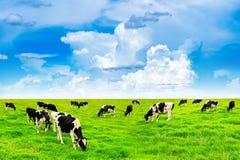 Mucche su un campo e su un cielo blu verdi Fotografie Stock Libere da Diritti
