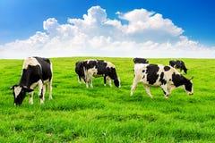 Mucche su un campo e su un cielo blu verdi Immagini Stock