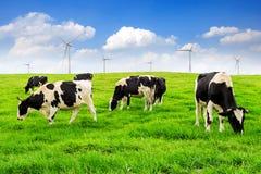 Mucche su un campo e su un cielo blu verdi Immagine Stock Libera da Diritti