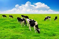 Mucche su un campo e su un cielo blu verdi Fotografia Stock