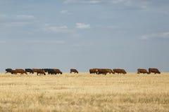 Mucche su un campo Molte mucche rustiche su un fondo di pascolo Latte organico e naturale e concetto dei prodotti lattier-caseari Immagine Stock Libera da Diritti