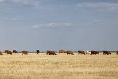 Mucche su un campo Molte mucche rustiche su un fondo di pascolo Latte organico e naturale e concetto dei prodotti lattier-caseari Fotografia Stock
