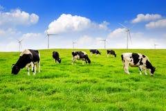 Mucche su un campo verde Immagini Stock