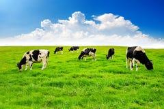 Mucche su un campo verde Fotografia Stock Libera da Diritti