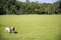 Mucche su un campo verde Immagine Stock