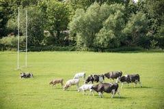 Mucche su un campo verde Immagine Stock Libera da Diritti