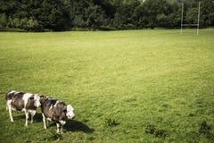 Mucche su un campo verde Immagini Stock Libere da Diritti