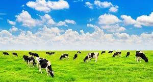 Mucche su un campo verde Fotografie Stock