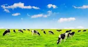Mucche su un campo verde Fotografia Stock