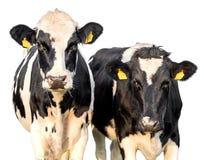 Mucche su un fondo bianco fotografia stock