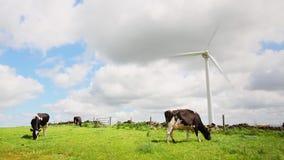 Mucche su un parco eolico stock footage