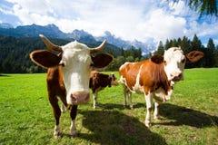 Mucche su un pascolo della montagna Immagini Stock Libere da Diritti