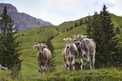 Mucche su un pascolo della montagna Immagine Stock Libera da Diritti