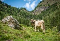 Mucche su un pascolo della montagna Fotografie Stock
