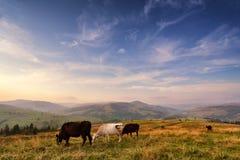 Mucche su un pascolo della montagna Colline di autunno Immagine Stock Libera da Diritti