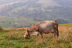 Mucche su un pascolo della montagna Colline di autunno Immagini Stock Libere da Diritti