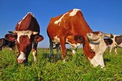 Mucche su un pascolo di estate Fotografia Stock