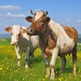 Mucche su un pascolo di estate Fotografie Stock Libere da Diritti