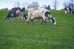Mucche su un pascolo immagini stock