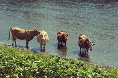 Mucche su un posto di innaffiatura Fotografia Stock Libera da Diritti
