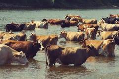 Mucche su un posto di innaffiatura Fotografia Stock