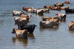 Mucche su un posto di innaffiatura Immagine Stock Libera da Diritti