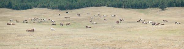 Mucche su un prato Fotografie Stock