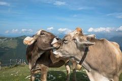 Mucche su un prato inglese nelle alpi Fotografia Stock Libera da Diritti