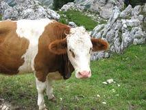 Mucche su un prato nelle dolomia italiane nel Tirolo del sud un giorno di estate immagini stock
