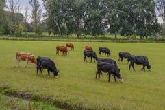 Mucche su un terreno coltivabile intorno a Abcoude i Paesi Bassi Immagine Stock Libera da Diritti
