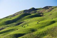 Mucche su una collina Fotografia Stock