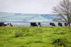 Mucche su una collina Immagini Stock