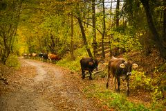 Mucche su una strada rurale in Bucovina fotografia stock