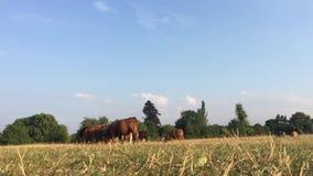 Mucche sui campi video d archivio