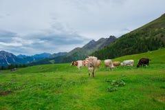 Mucche sui pascoli delle alpi italiane Immagine Stock