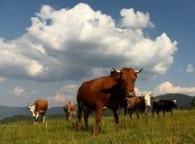 Mucche sui pascoli nelle montagne Immagini Stock