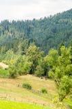 Mucche sui pendii delle montagne di Balcani in Bulgaria Immagini Stock