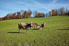 Mucche sui prati sopra il lago Lucerna Fotografie Stock