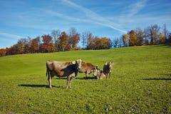 Mucche sui prati sopra il lago Lucerna, vicino al supporto Rigi, alpi Fotografie Stock
