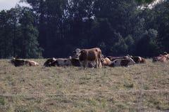 Mucche sul campo fotografia stock libera da diritti