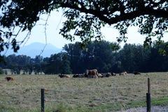 Mucche sul campo immagini stock libere da diritti