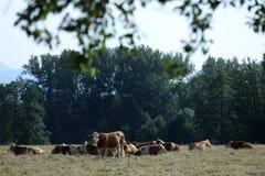 Mucche sul campo fotografia stock