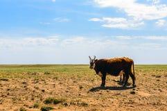 Mucche sul campo immagini stock
