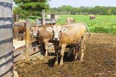 Mucche sul campo fotografie stock libere da diritti