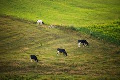 Mucche sul campo, paesaggio rurale polacco, sera tardi l dorata immagine stock libera da diritti