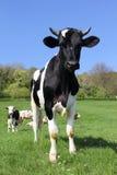 Mucche sul campo verde Fotografie Stock