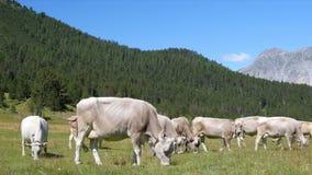 Mucche sul campo verde Mucche che pascono nelle alpi L'Italia archivi video
