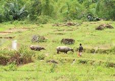 Mucche sul giacimento del riso Immagini Stock Libere da Diritti