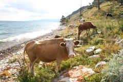 Mucche sul litorale del lago Baikal Immagine Stock Libera da Diritti