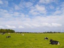 Mucche sul pascolo Fotografia Stock